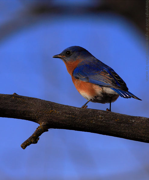 Eatern Bluebird