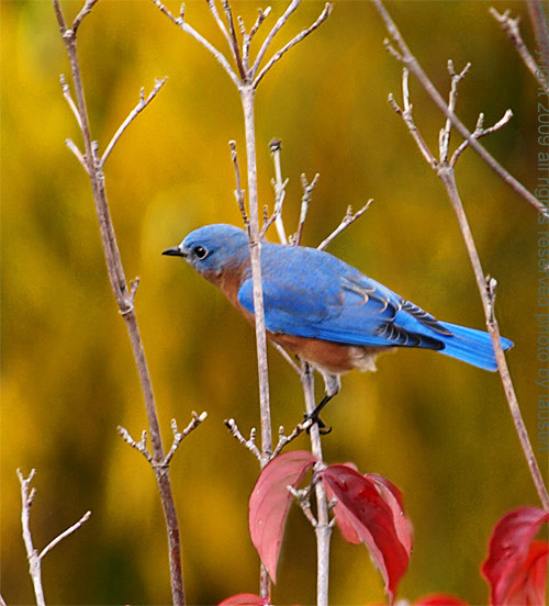 Nature Photography Eastern Bluebird