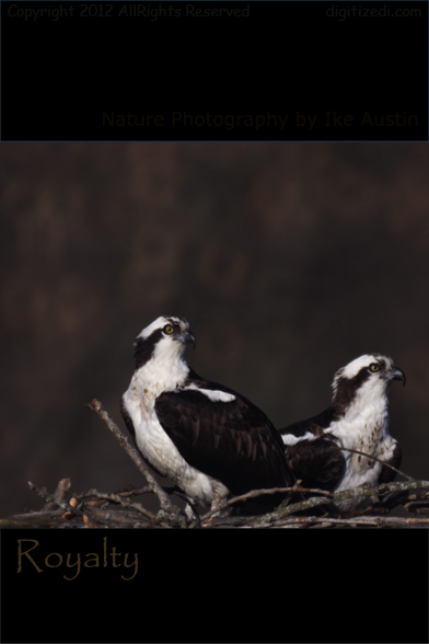 Michigan Bird - Osprey Royalty Photo by Ike Austin