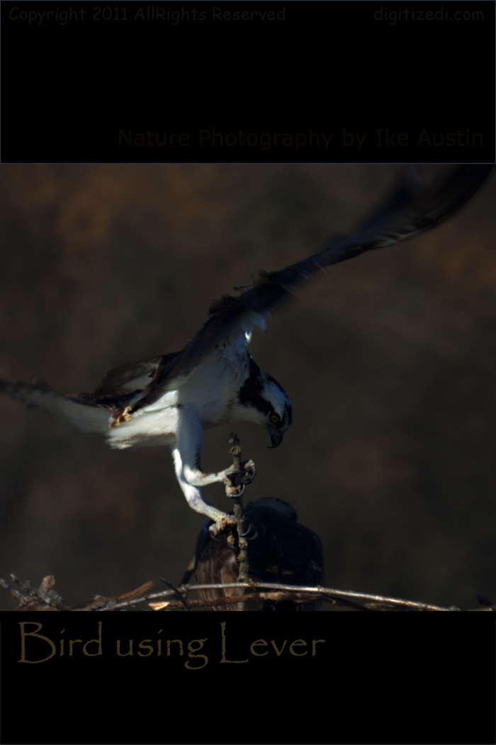 Michigan Osprey