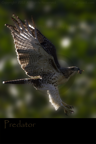 Wild Life Pictures  - Red Tailed Hawk - Michigan Photography by Ike Austin