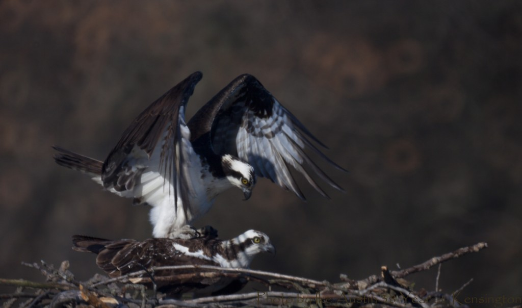 Osprey Mating Pair - Michigan Bird