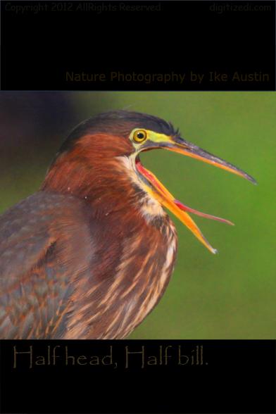 Green Heron Half head, half mouth