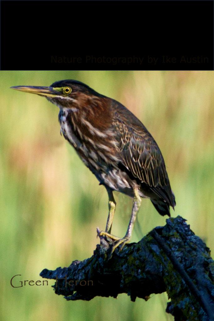 Birds of Michigan Wetlands