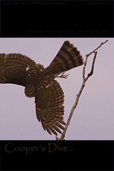 Cooper's Hawk Michigan Bird