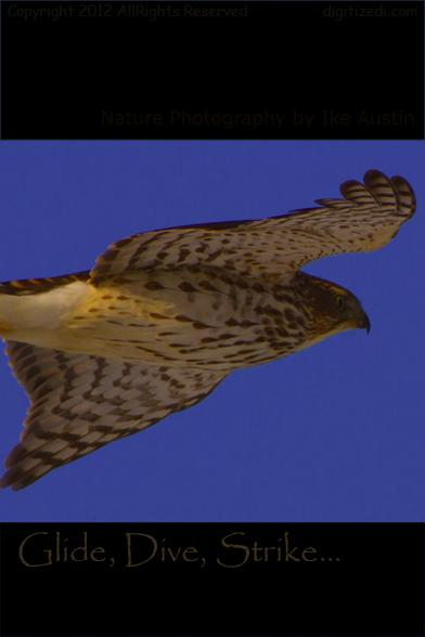 Cooper's Hawk dive, glide, strike