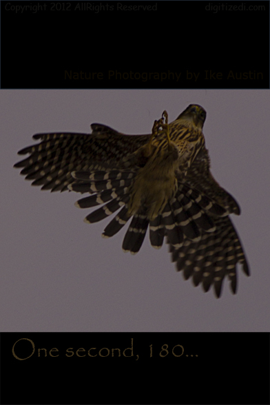Coopers Hawk inflight 180 Michigan Birds - Photo by Ike Austin