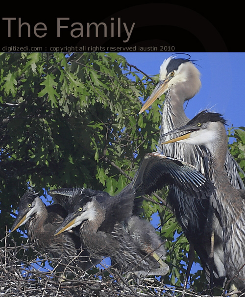 Great Blue Heron - The Family