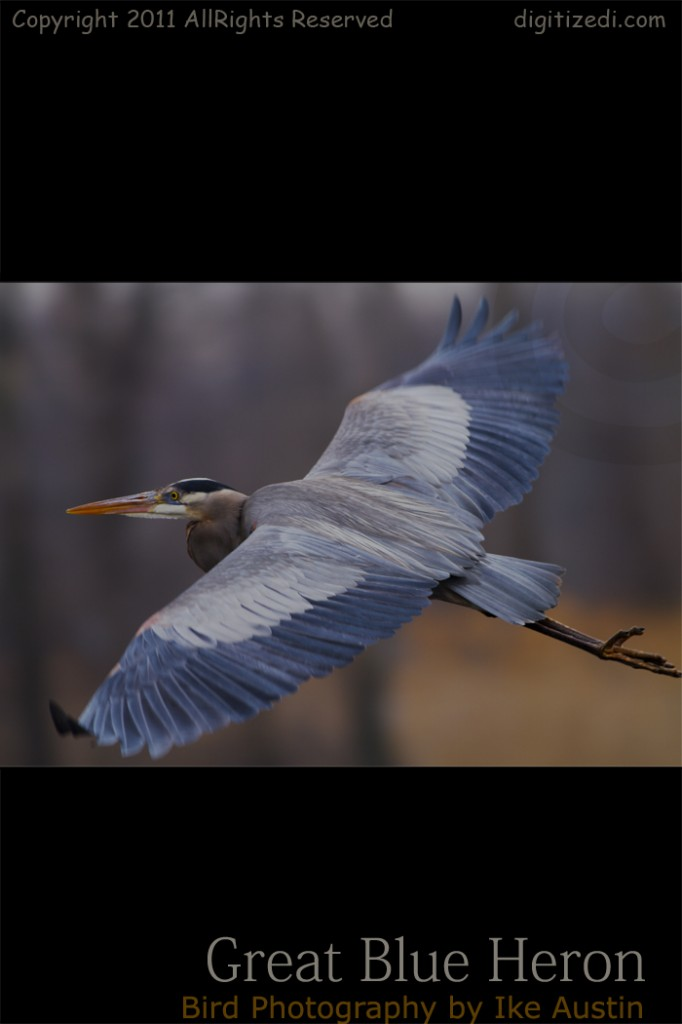 Great Blue Heron Michigan Bird Low Glider