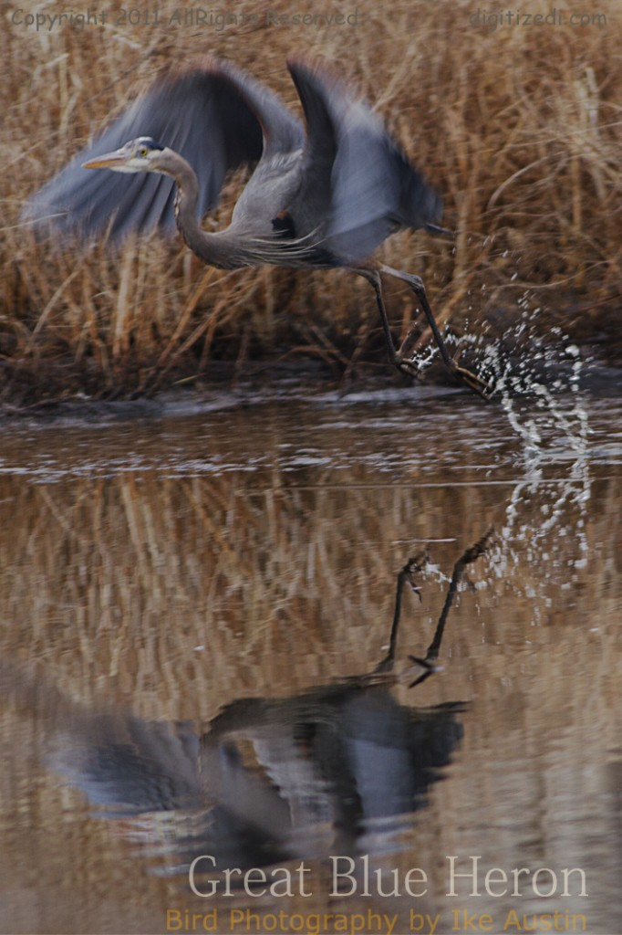 Great Blue Heron Michigan Bird -Hang Glide