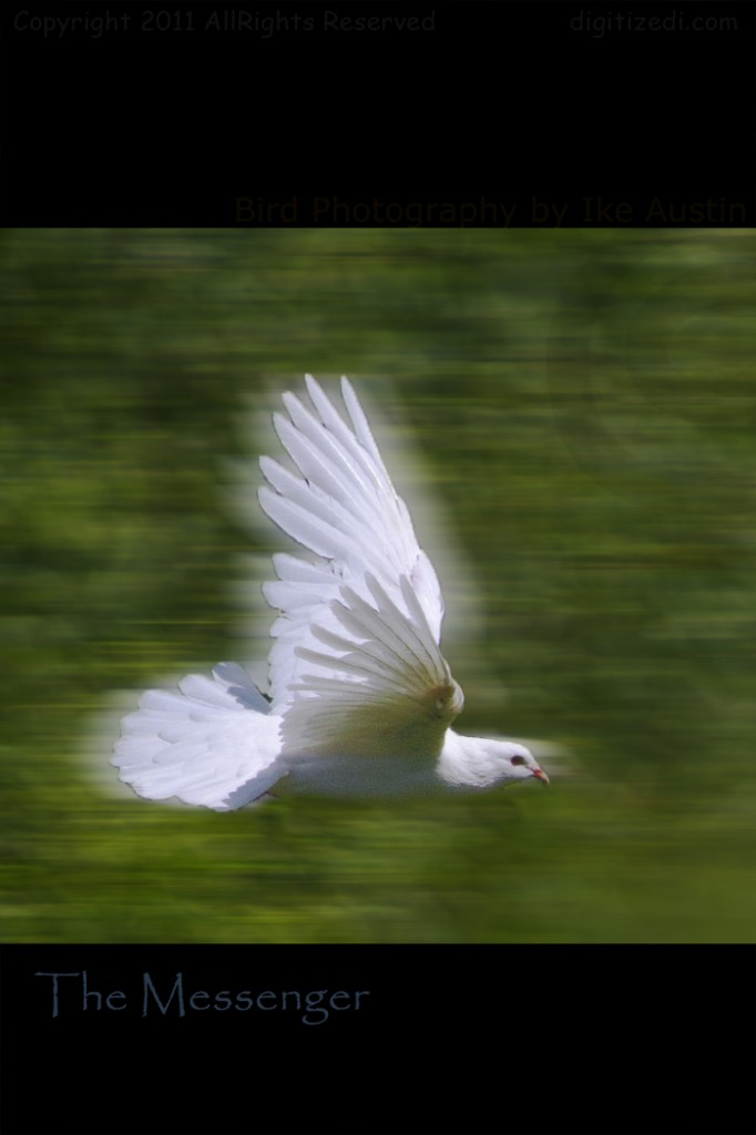 White Dove - Message in the Wind - Photo by Ike Austin