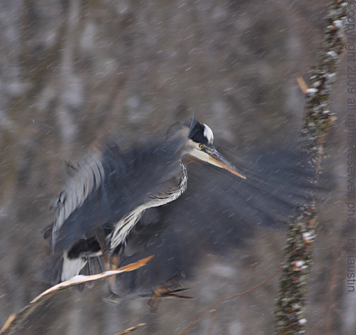 great blue heron has landed michigan bird