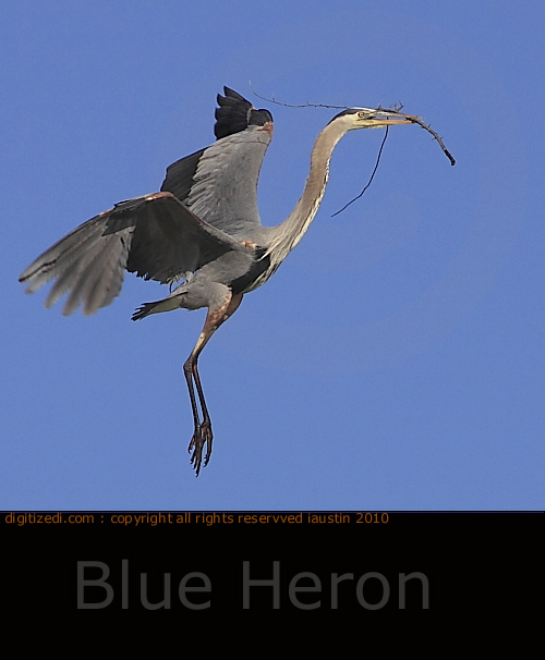 michigan-birds-blue-heron nest building