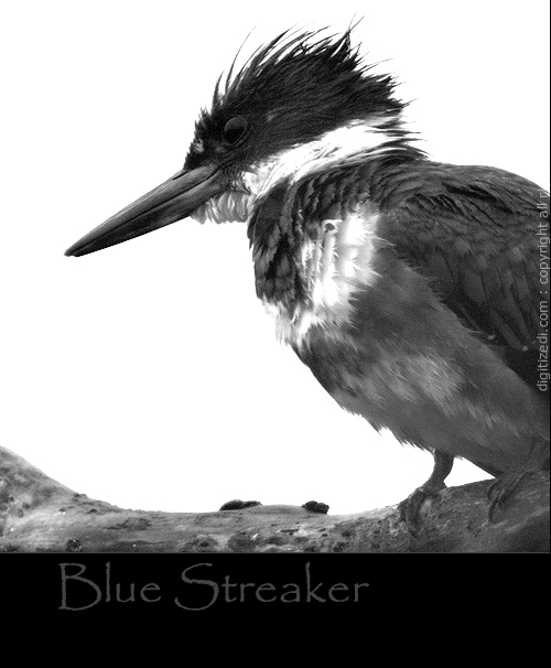 Belted KingFisher Michigan