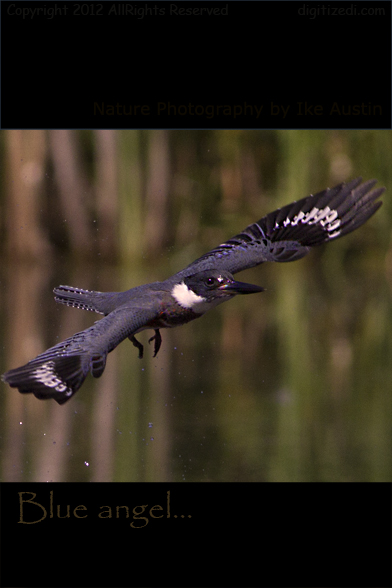 Michigan Belted KingFisher
