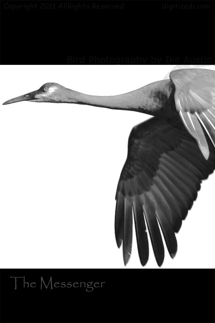 Sandhill Crane Michigan Bird