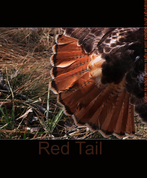 nature photography red tailed hawk