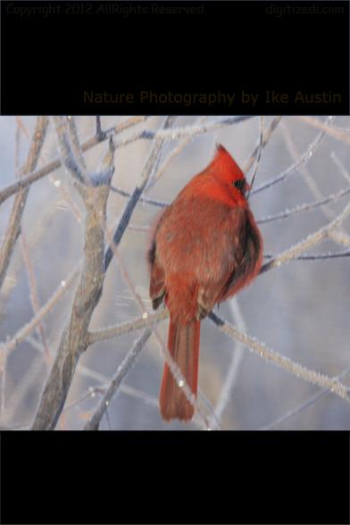 Michigan Red Cardinal