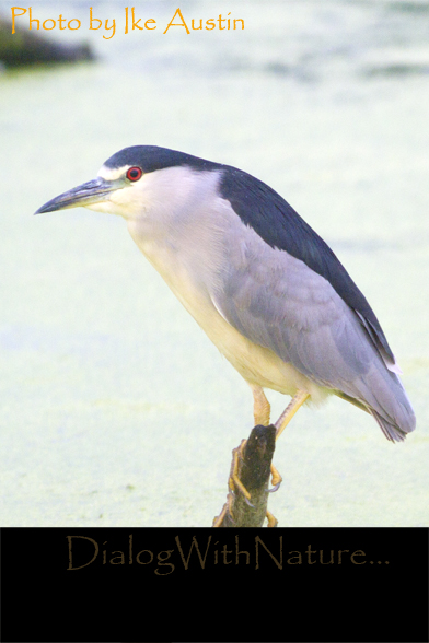 black crowned night heron adult