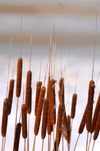 Stoicism - Cattails - In silence I hear useful truths.