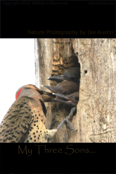 Northern Flicker Nesting