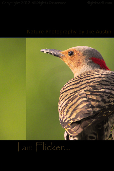 Northern Flicker - Woodpecker Michigan -