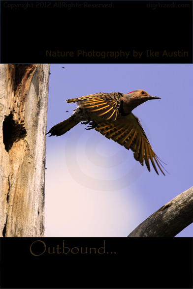 Northern Flicker Michigan
