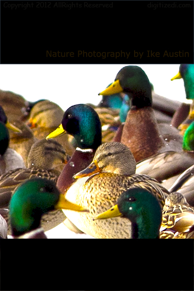 Dabble of Mallard Ducks