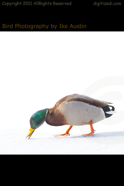 Mallard Duck Winter