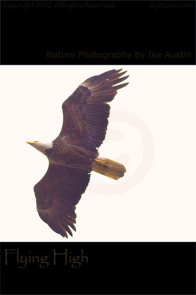 Michigan Bald Eagle