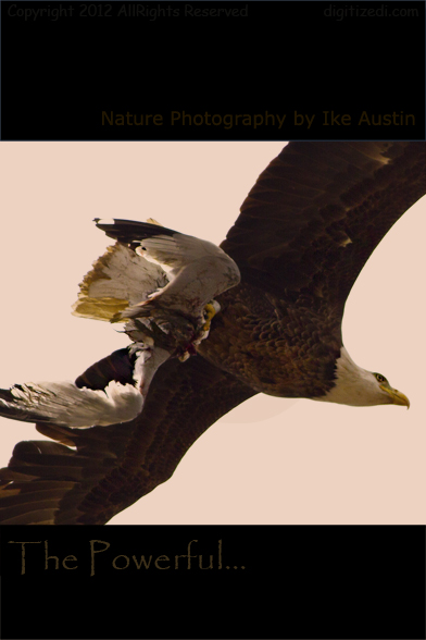 Nature Photography Michigan Bald Eagle