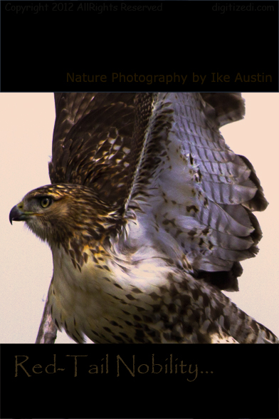 Nature Photography Redtailed Hawk