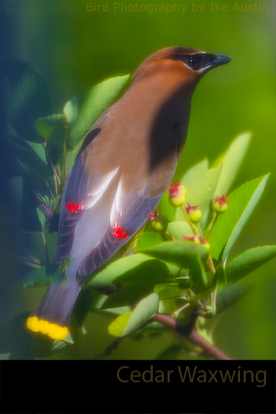 Cedar Waxwing Michigan