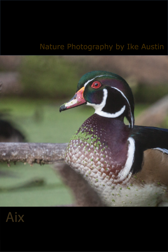 Wood Duck Michigan