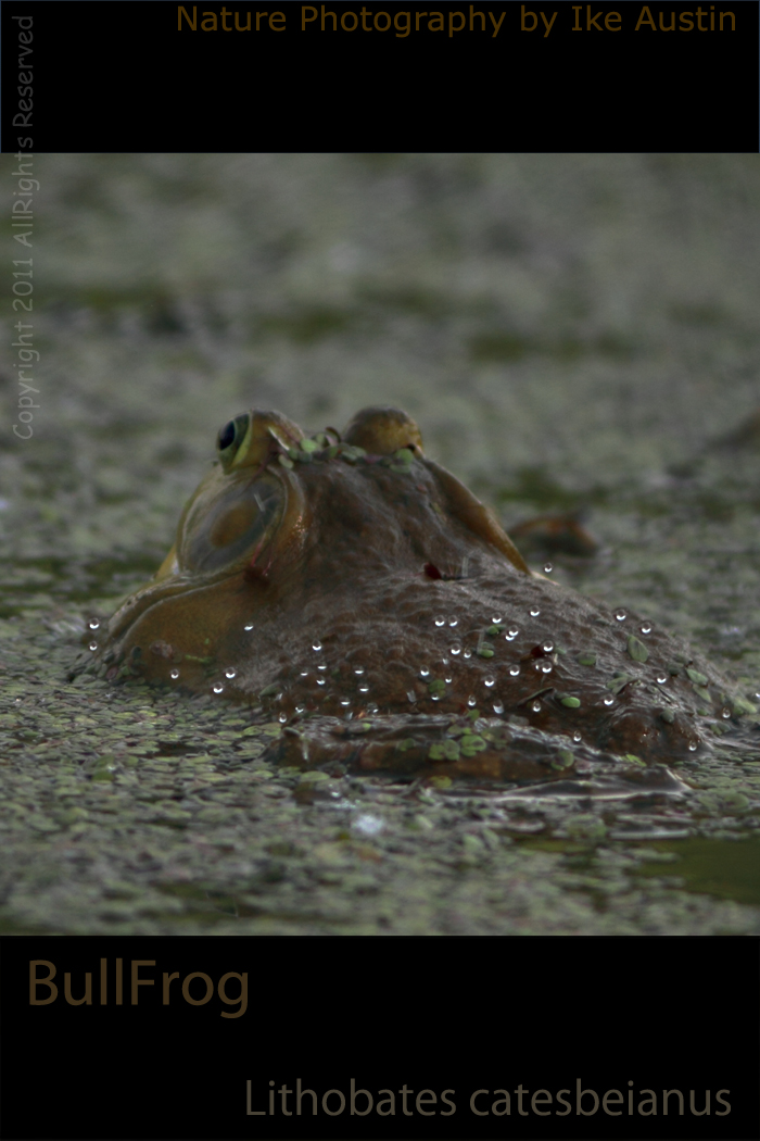 BullFrog Croaking Michigan