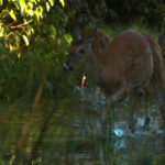 Bevy of Deer - Michigan