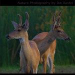 Deer Young Bucks Michigan