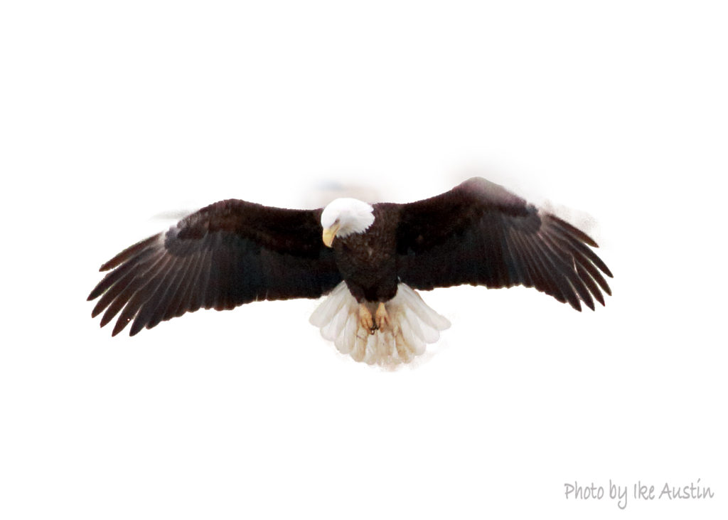 Bald Eagle Hovering