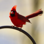 Red Cardinal 2- Photo by Ike Austin