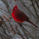 Red Cardinal 5 - Photo by Ike Austin