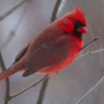 Red Cardinal 4 - Photo by Ike Austin