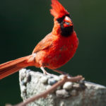 Red Cardinal 6 - Photo by Ike Austin
